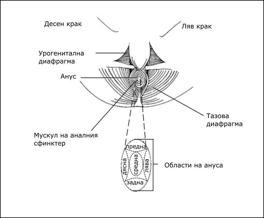 Перинеум и перинеумна сила